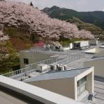 屋上から見た、裏の桜